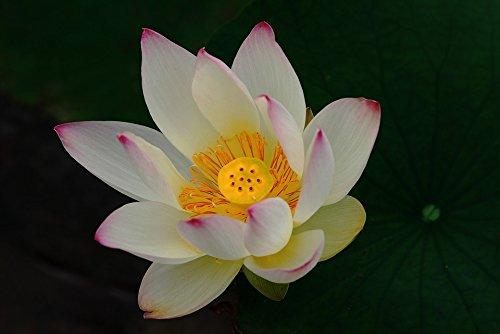 Home Comforts LAMINATED POSTER Impotence Lotus I Buddha Poster