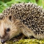 Salmonella outbreak linked to pet hedgehogs continues; 6 additional people sickened, CDC says